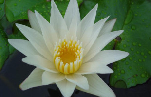 White Tropical Water Lilies: Crystal