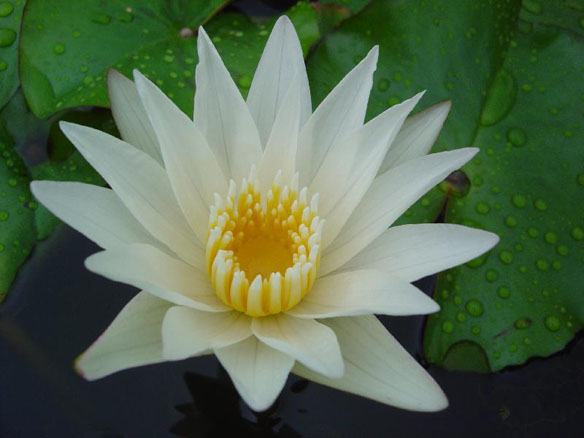 Crystal,Tropical water lilies, water lilies for ponds