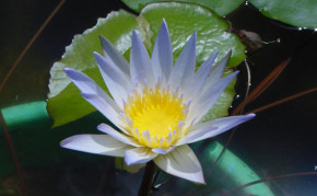 Blue Tropical Water Lily: Duaben