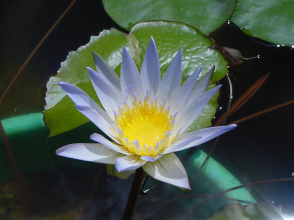 Duaben, water lilies, water lilies for ponds