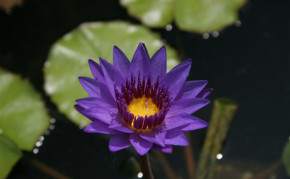 Purple tropical water lilies: Director Moore