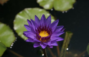Purple tropical water lilies: Director Moore