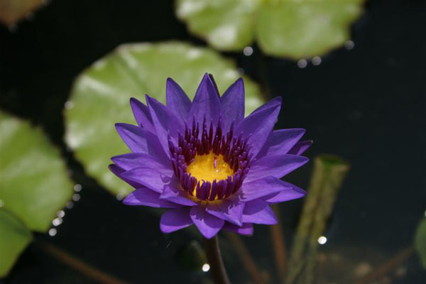 Director Moore,Tropical water lilies, water lilies for ponds