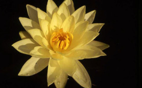 Yellow Hardy Water Lilies: Joey Tomocik