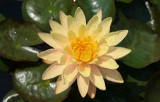 Yellow Hardy Water lily: Mangkala Ubol