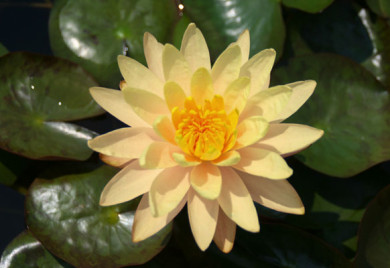 Mangkala Ubol, water lilies, water lilies for ponds