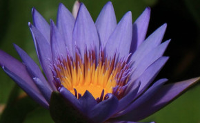 Blue Tropical Water Lily: Margret Mary