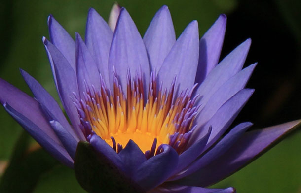 Margret Mary, water lilies, water lilies for ponds