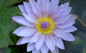 Blue Tropical Water Lily's: Pamela