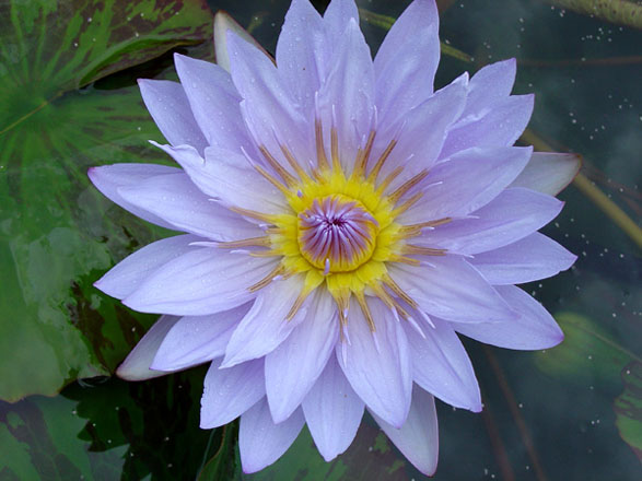 Pamela, water lilies, water lilies for ponds