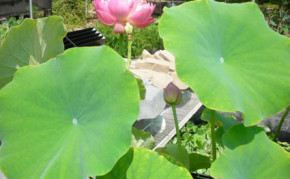 Aquatic Pond Plants: Pink Lotus: Mrs. Perry D. Slocum Water Lotus