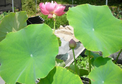 Pink Lotus, Lotus, Lotus for your pond
