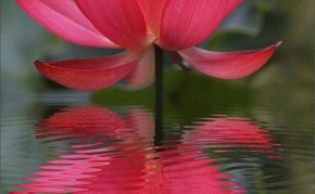 Aquatic pond plants: Red Lotus: Russian Red Water Lotus