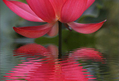 Russian Red, Lotus, Lotus for your pond