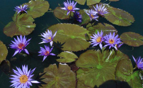 Blue Tropical Water Lilies: Rhapsody in Blue