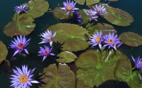 Blue Tropical Water Lilies: Rhapsody in Blue