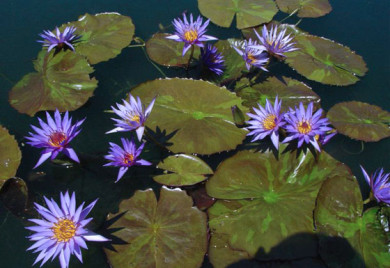 Rhapsody in Blue, water lilies, water lilies for ponds