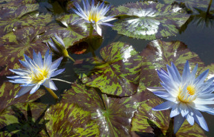 Blue Tropical Water lilies: Star of Siam