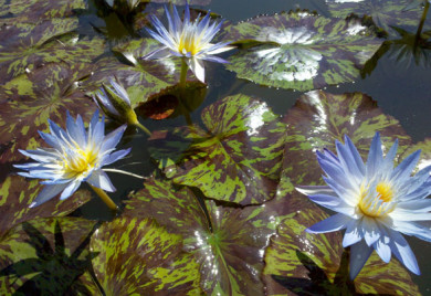 Star of Siam, water lilies, water lilies for ponds