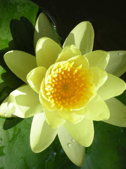 Sulphurea, water lilies, water lilies for ponds