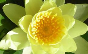 Yellow Hardy water lilies: SULPHUREA