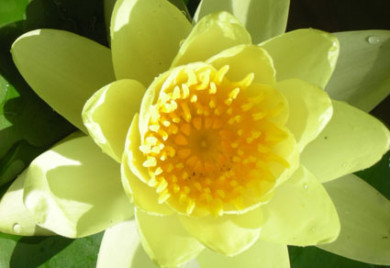 Sulphurea, water lilies, water lilies for ponds