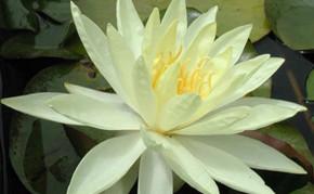 Yellow Hardy Water Lily: SUNRISE