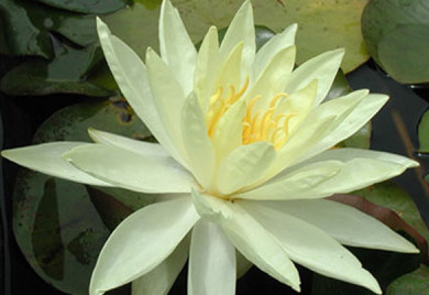 Sunrise, water lilies, water lilies for ponds
