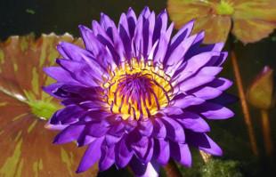 Purple Tropical Water Lilies: Tanzanite