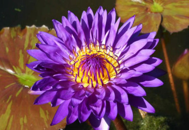 Tanzanite, Tropical water lilies, water lilies for ponds
