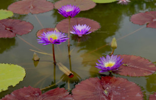 Purple Tropical Water lily: Ultra Violet
