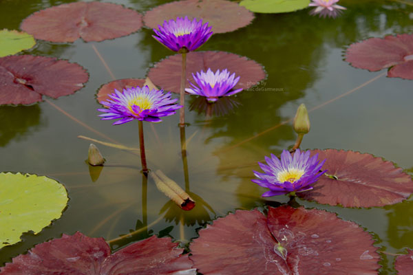 Ultra Violet, Tropical water lilies, water lilies for ponds