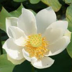 White Tropical Water Lilies - Water Lilies For Sale - Aquatic Plants
