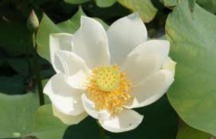 Aquatic pond plants: White Lotus: Alba Grandiflora Water Lotus