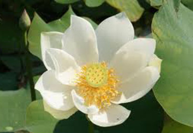 White Lotus, Lotus, Lotus for your pond