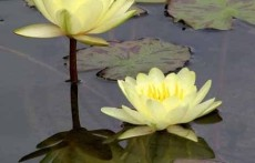 Yellow Tropical Water Lily: Yellow Dazzler