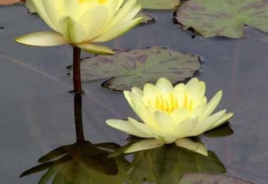 Yellow dizzler, yellow tropical water lily