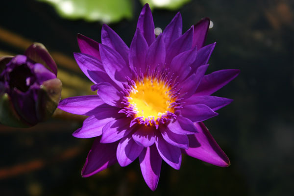 Star of Zazibar, Tropical water lilies, water lilies for ponds
