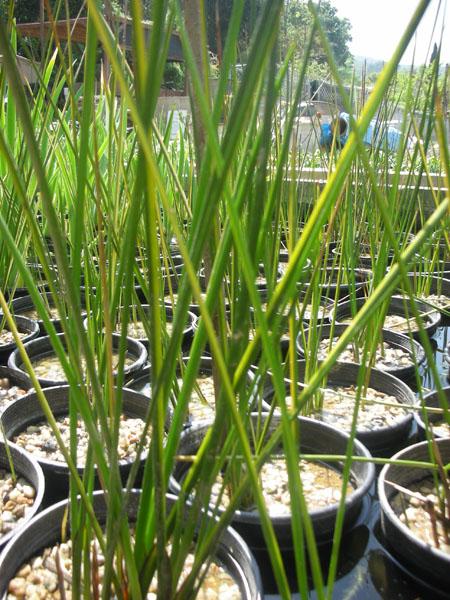 http://sunlandwatergardens.com/wp-content/uploads/2013/05/acorus-bog-plants.jpg