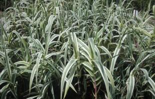 Bog Plants: Arondo Donax