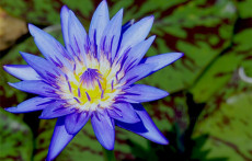 Blue Tropical Water Lilies: Spider Lily