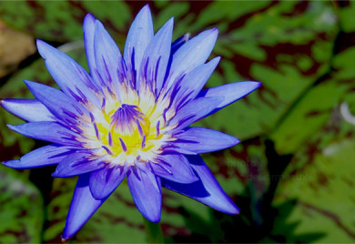Spider Lily, water lilies, water lilies for ponds