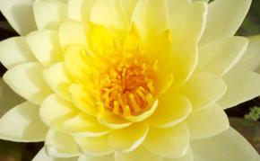 Yellow Hardy Water Lily: Chromatella