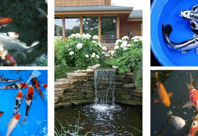 Koi Supplier - Sunland Water Gardens - Everything For Your Pond