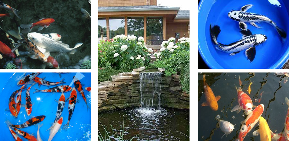 SunlandWaterGardenscom Pond Supplies Pond Plants Pond Fish
