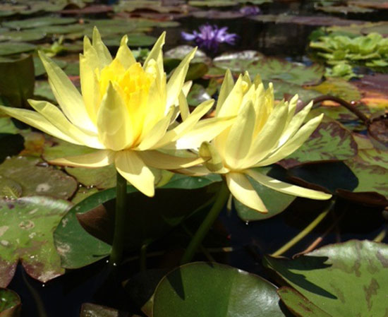 Mexicana, water lilies, water lilies for ponds