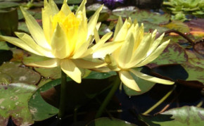 Yellow Hardy Water Lily: Mexicana