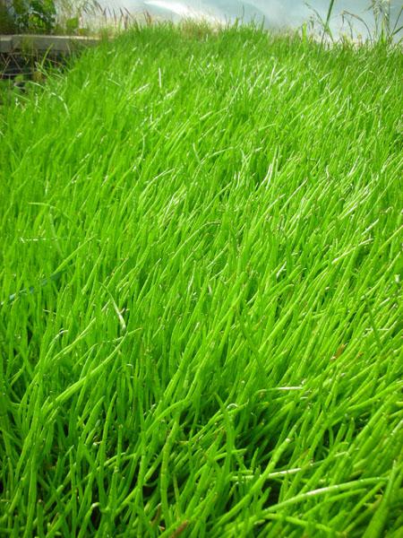 Bog Plants, Micro Sword, Bog Plants for ponds, Aquatic Plants