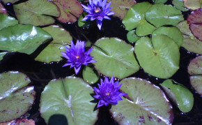 Purple Tropical Water Lilies: Panama Pacific