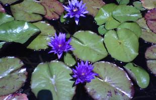 Purple Tropical Water Lilies: Panama Pacific